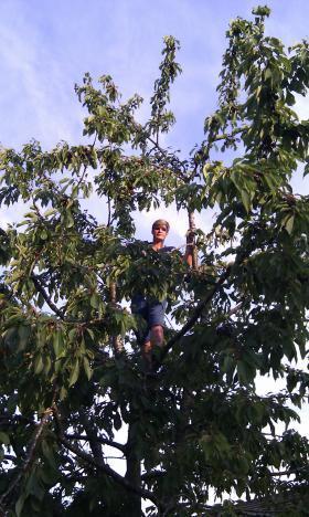 Person har klatret op i et kirsebærtræ, for at samle og spise kirsebær